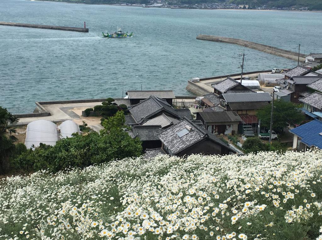 因島 GW期間が見頃!まっしろな除虫菊の絨毯